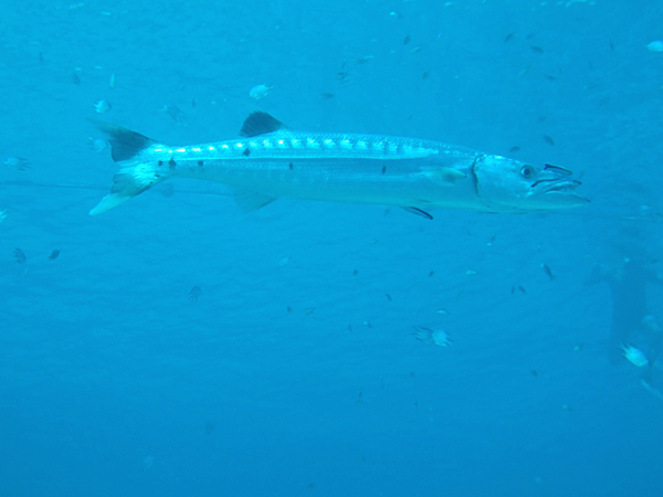 dscf3750_barracuda_600x450